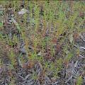 panicled willowweed